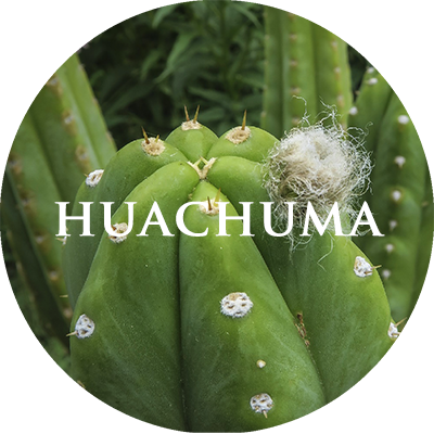 plant-huachuma